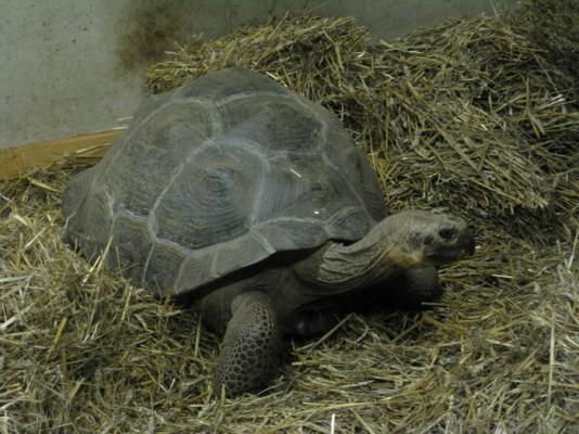 Galapagossköldpadda