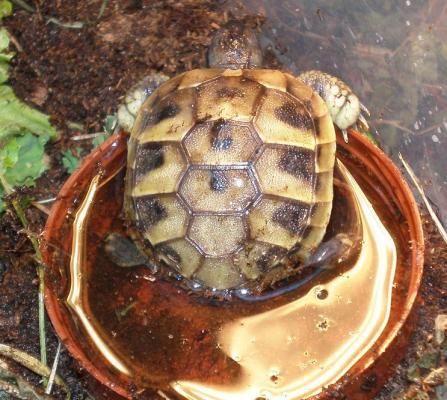 sköldpaddaunge