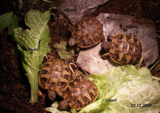 Krekisksköldpadda ungar