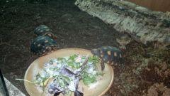 Rödfotade skogssköldpaddor