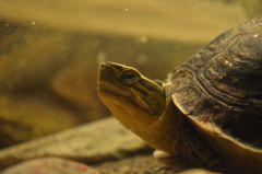 Malaysisk boxsköldpadda
