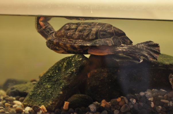 Steve raklång i akvariet