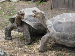 galapagossköldpaddor