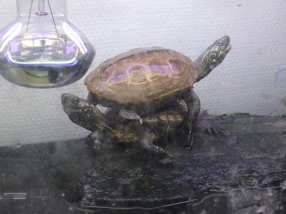 kärrsköldpaddor.jpg