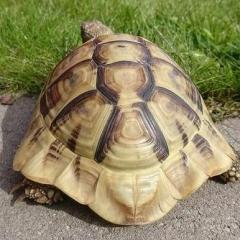 TurtleTeo
