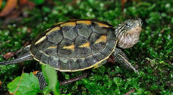 chinese-golden-thread-turtles-ocadia-sinensis-chinese-stripe-necked-turtle-3.jpg