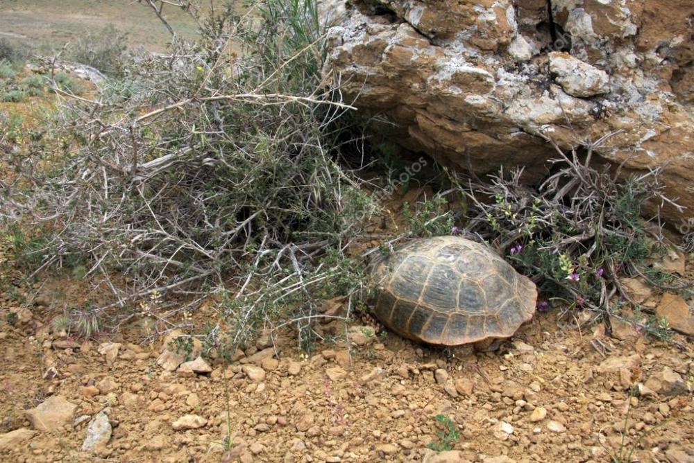 depositphotos_24543559-stock-photo-steppe-tortoise-testudo-agrionemys-horsfieldii.jpg